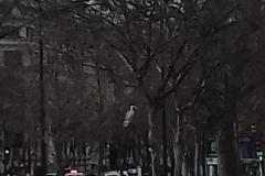 heron-perche-rare-a-Paris